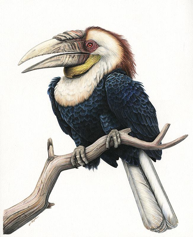 Furchenhornvogel